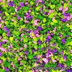 J-07 'Buganvilla' flores rosas y violetas