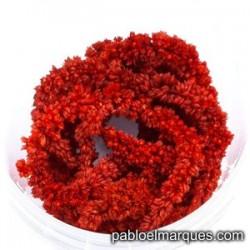 Planta trepadora Rojo