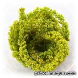 Planta trepadora: Verde claro